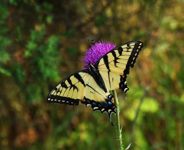 Photo of Papilio glaucus