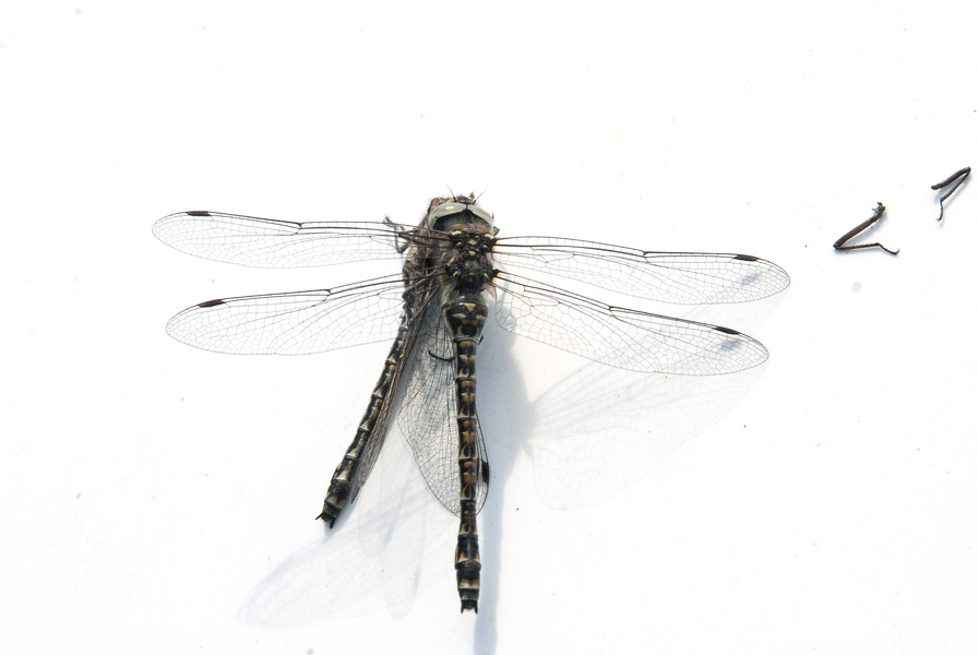 dragonflypredation1658
