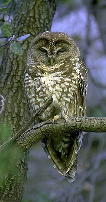 Strix occidentalis
