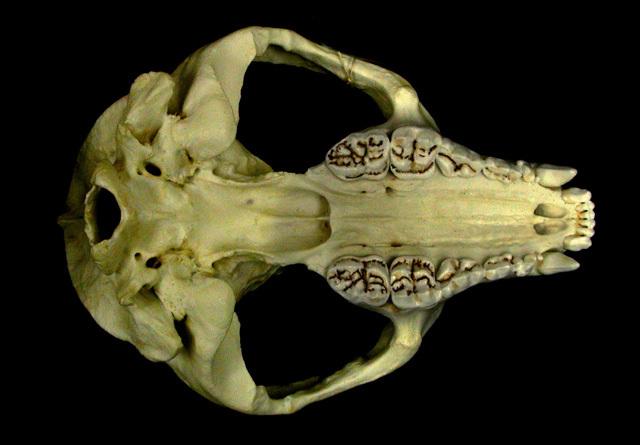 https://animaldiversity.org/collections/contributors/skulls/ailuropoda/a._melanoleuca/panda_ventral/medium.jpg