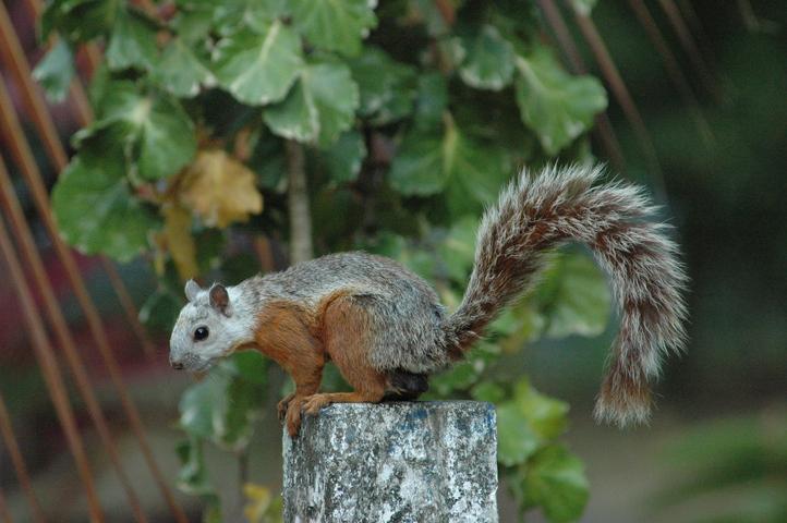 ADW: Sciurus variegatoides: INFORMATION