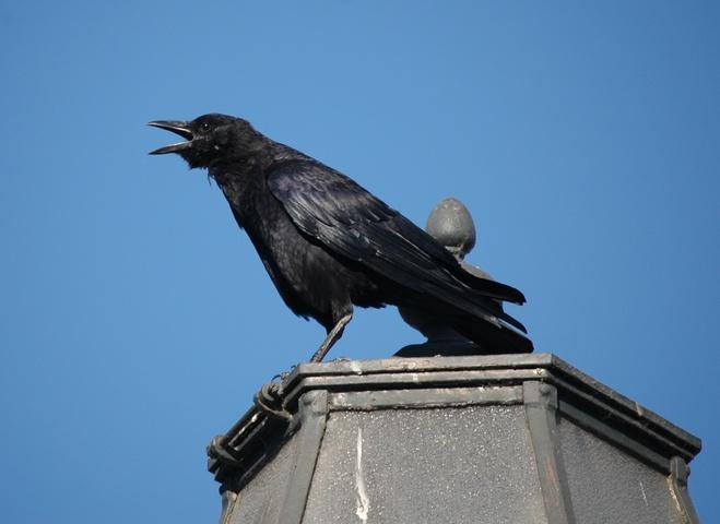 Economy Class Crow