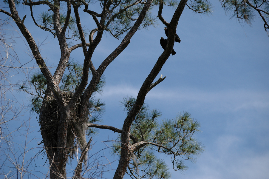 blackvultures_nest