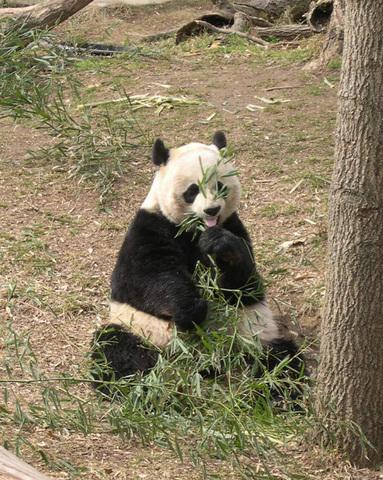 Размножение панд маленький пенис