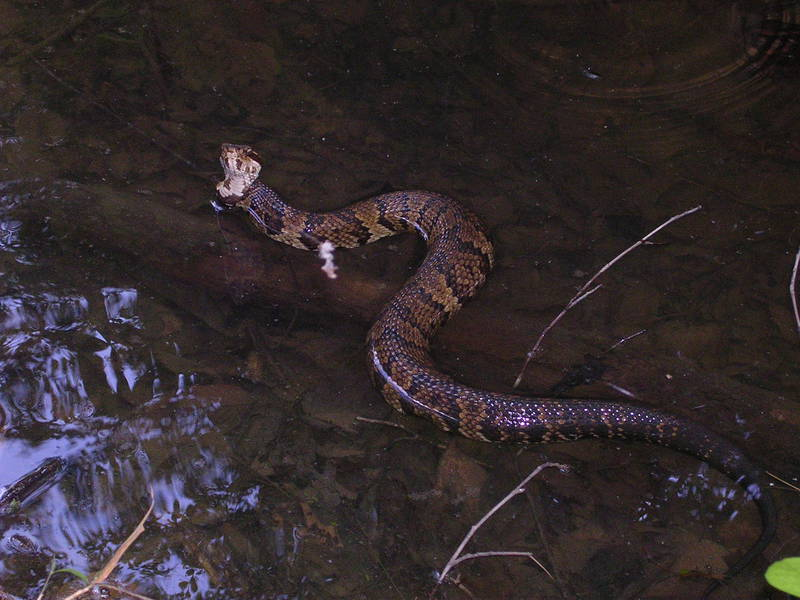 cottonmouth3