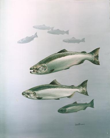 ADW: Oncorhynchus tshawytscha: PICTURES