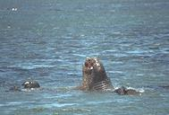 maleelephseals2