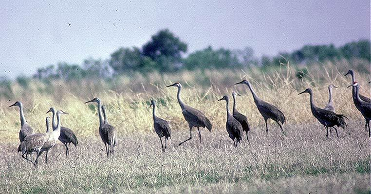 Grus canadensis
